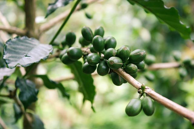 cafe vert et acide chlorogenique